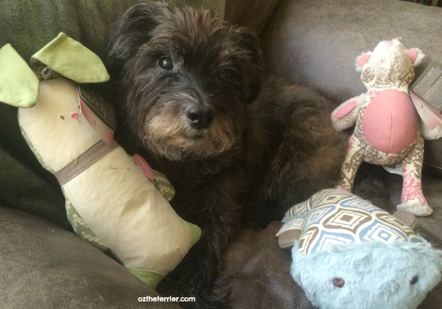 Oz the Terrier finds Kathy Ireland Loved Ones Dog Toys accommodate a variety of play styles