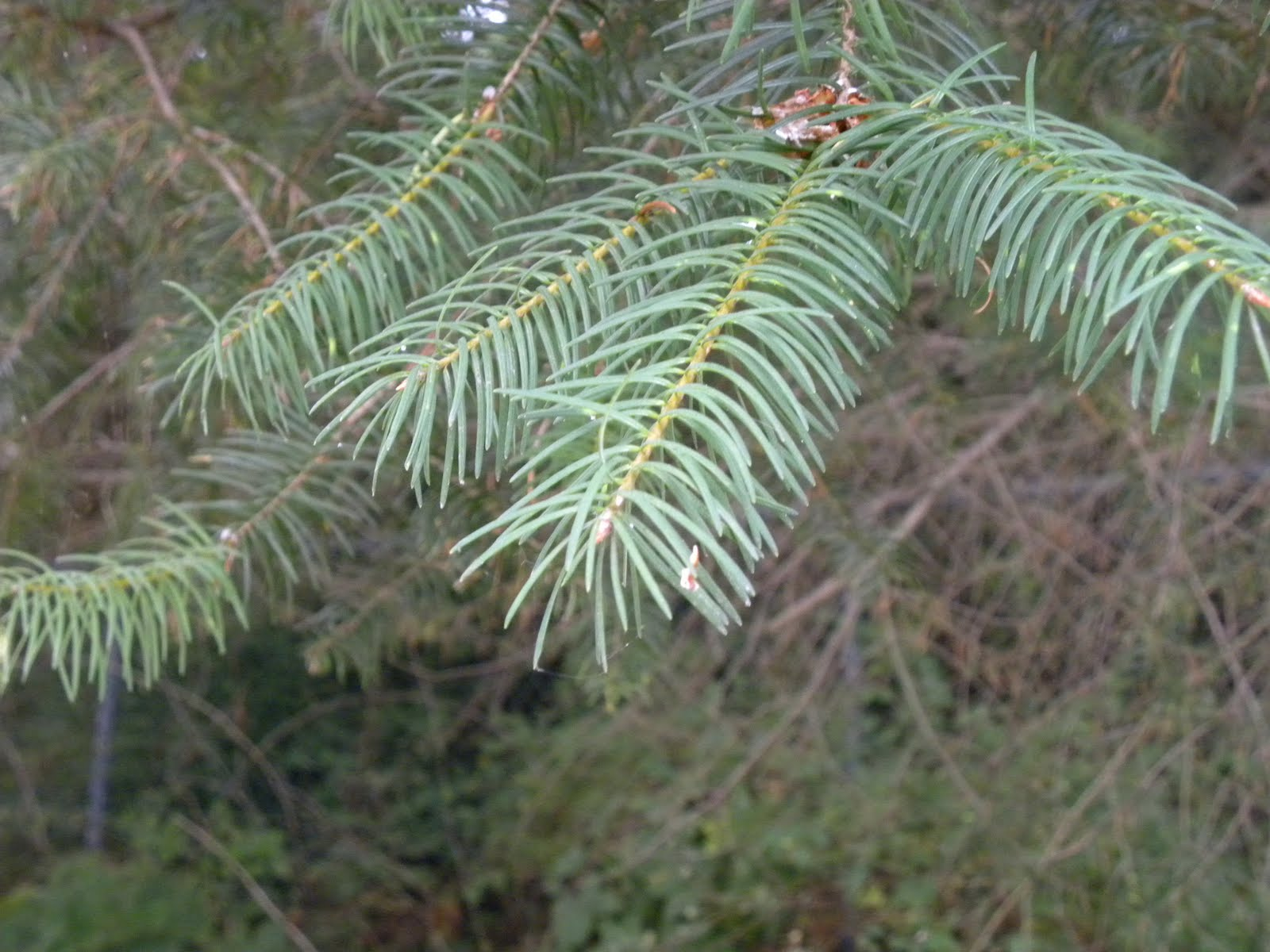 Douglas Fir Tree Branch Douglas-firs are intolerant of