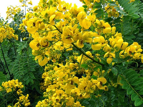Yellow color personality for Arboles florales para jardin