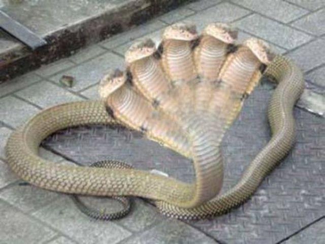 Cobra de cinco cabeças