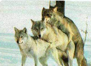 funny picture: wolves threesome f*ck