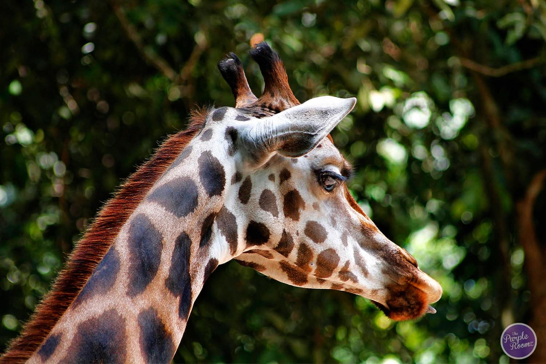 #zirafah #gambarzirafh #giraffe #Giraffa camelopardalis
