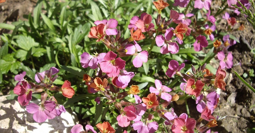 Derri re les murs de mon jardin mai en demi teinte - Derriere les murs de mon jardin ...