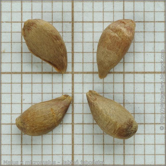 Malus x micromalus seeds - Jabłoń japońska nasiona