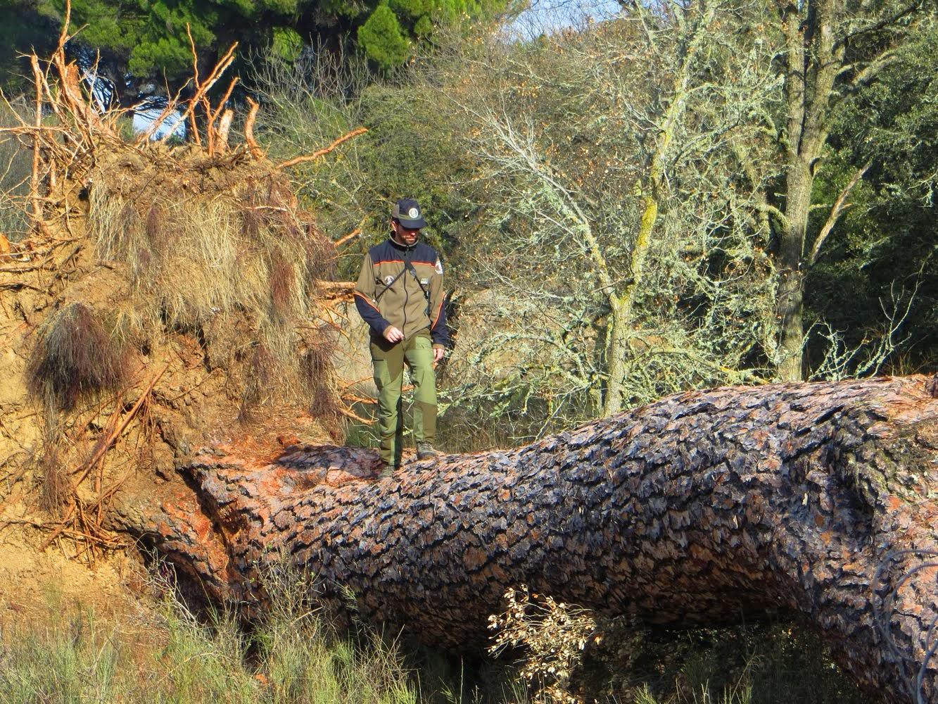 El pino caido