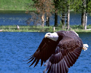 eagle wallpaper animal aves species hawk