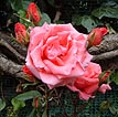 27 Fotografías de rosas de varios colores