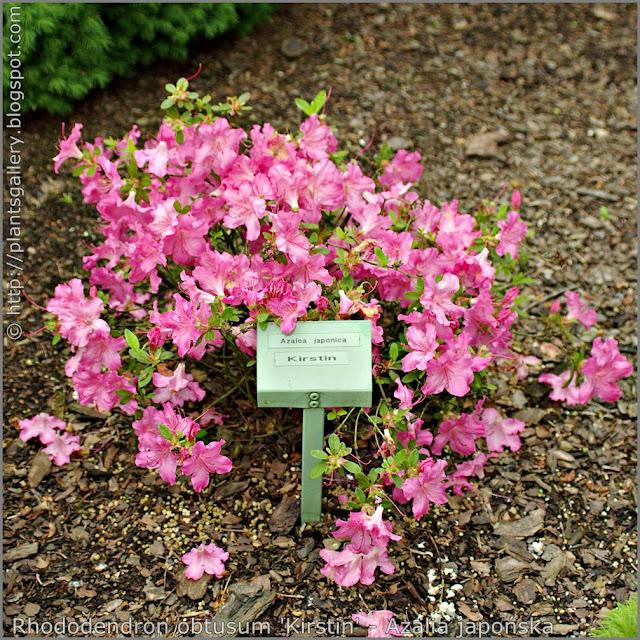 Rhododendron obtusum 'Kirstin' habit - Azalia japońska 'Kirstin'  pokrój