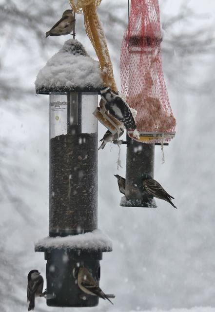 mixed birds at feeders