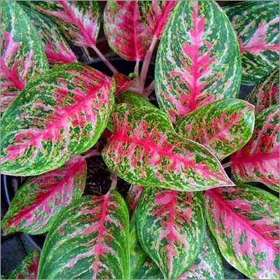 Jual agloenema | suplier tanaman | tanaman hias | jasa desain taman