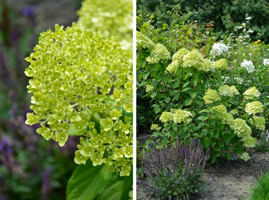 randblick 1x1 der hortensie teil 3 hydrangea paniculata. Black Bedroom Furniture Sets. Home Design Ideas