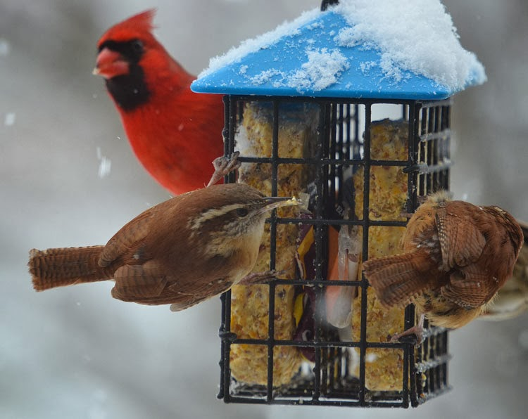 It was strange to see the bright red Cardinal hanging on to the suet feeder. Normally only woodpeckers, nuthatches, chickadees and wrens cling to it.