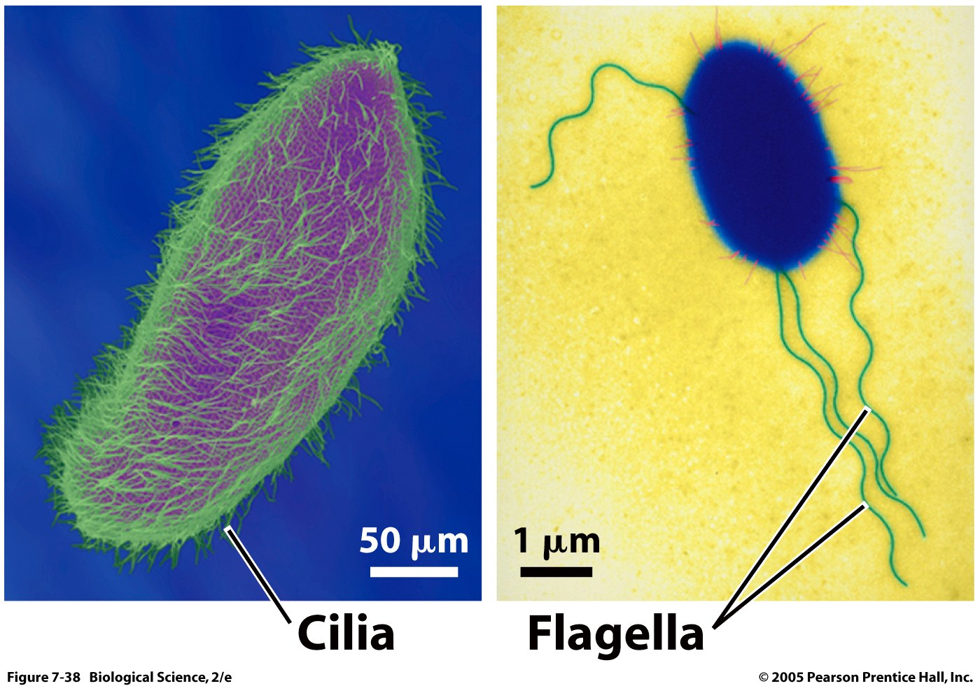 Cilia in plant cell - photo#8