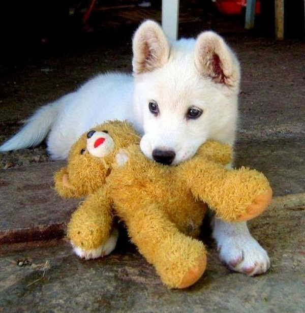 adorable dog pictures, puppy grabs stuffed bear with his mouth