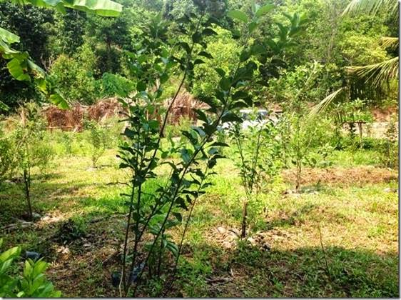 Vishakapatnam District now grows apple fruit trees