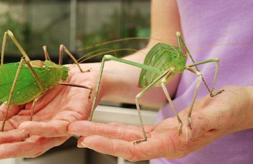 15 Serangga Terbesar di Dunia: Belalang Besar Berkaki Panjang