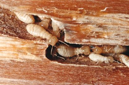 Pegada ambiental tratamento da madeira contra t rmitas for Carcoma o termitas