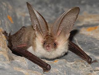 Murciélago de orejas grandes