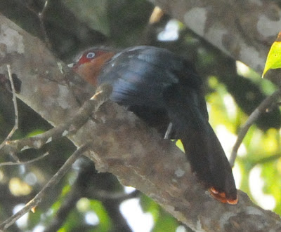 Chestnut-breasted Malkoha (Zanclostomus curvirostris)