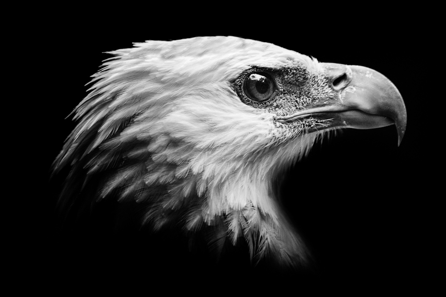 Wild Eagle Photos - HD Animal Wallpapers