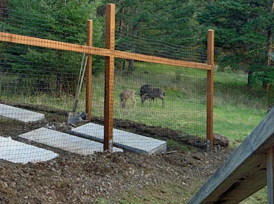 deer on San Juan Island, must have garden fenced