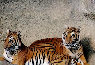 Foto harimau Indocina