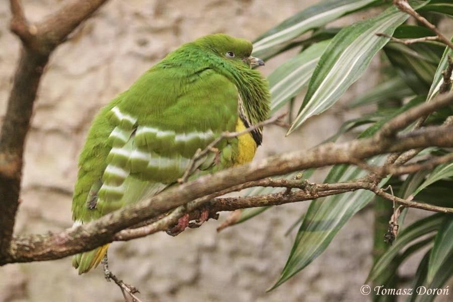 Cloven feathered dove Drepanoptila holosericea