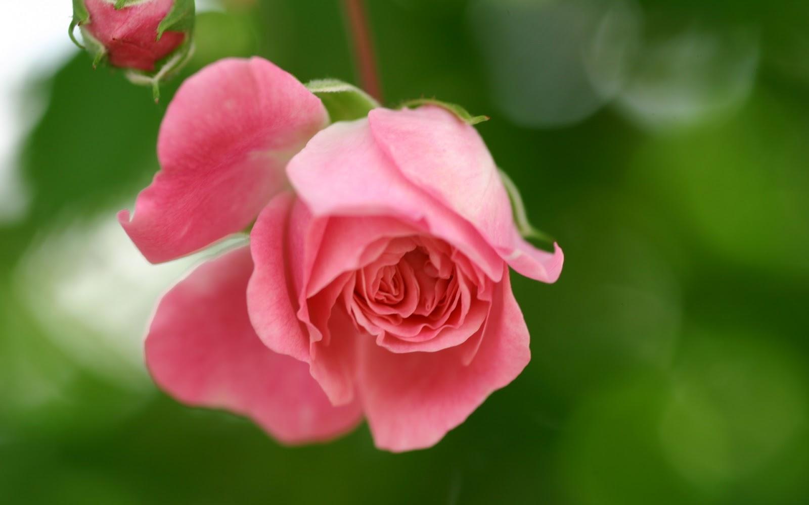 hermosas rosas rosadas con fraces de esperanza Mundo