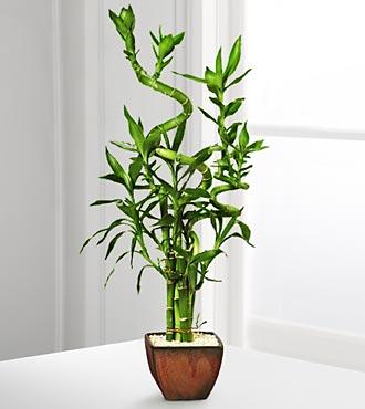 bamboo worktops photos lucky bamboo arrangement. Black Bedroom Furniture Sets. Home Design Ideas