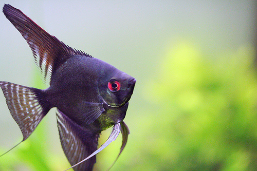 Save the animals and birds angel fish for Freshwater angel fish