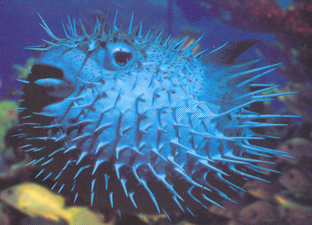 Puffer fish animal wildlife for Twilight zone fish