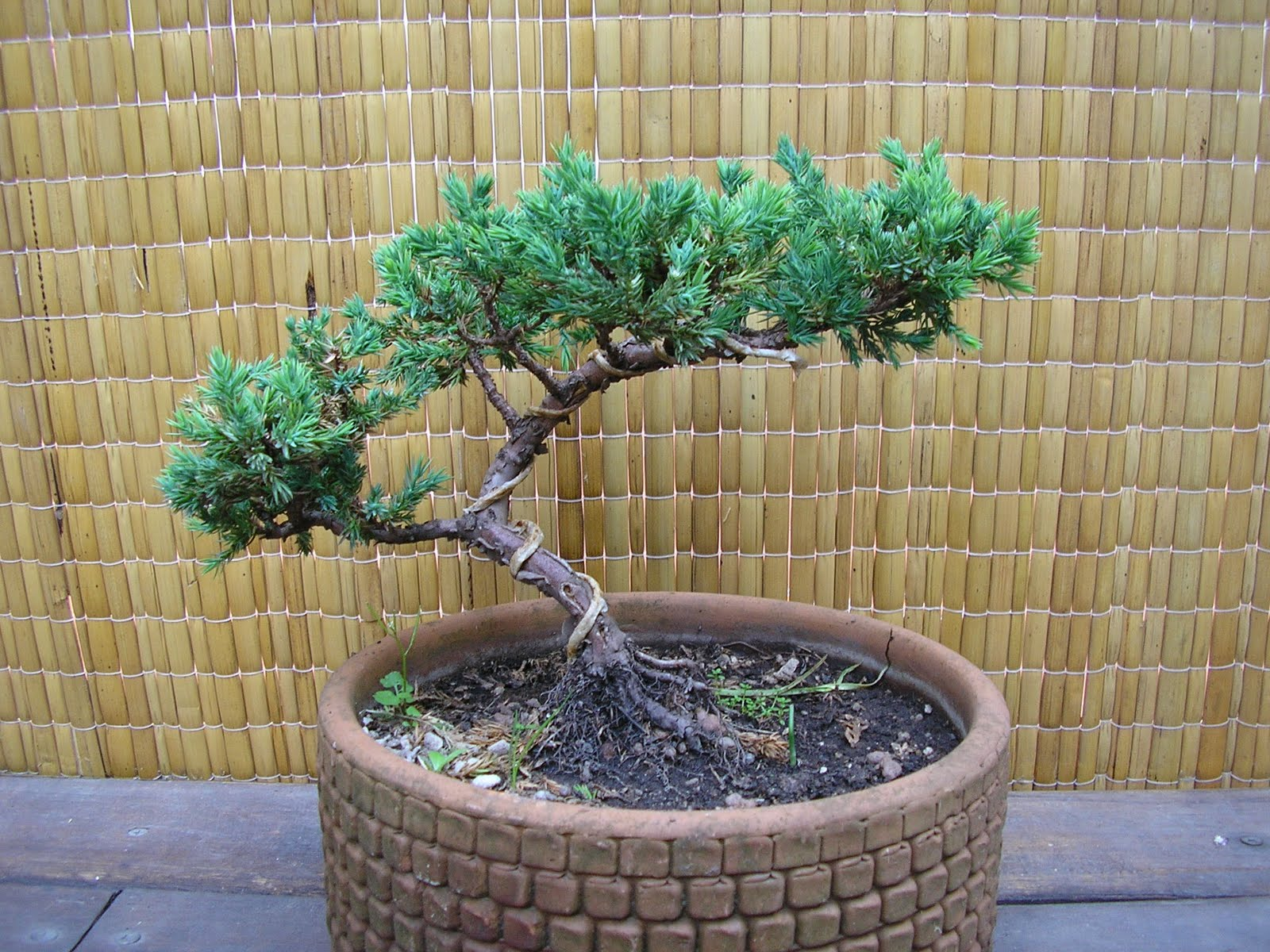 Juniperus Procumbens Para Principiantes The Bonsai Blog Of
