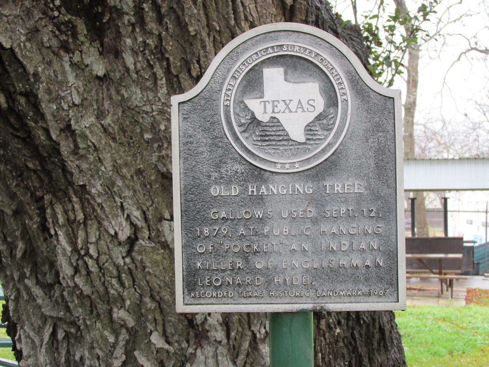 Meander and gander texas trees some famous and some not the hallettsville hanging tree is located in city park next to the clubhouse of the hallettsville golf association source texas am forestry service sciox Choice Image