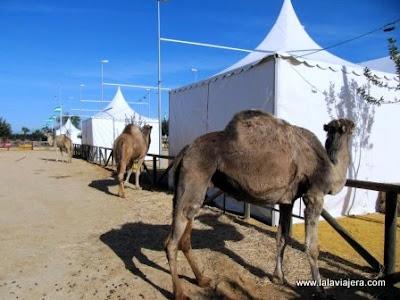 Paseos Camello Donana