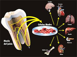 celulas madre dientes