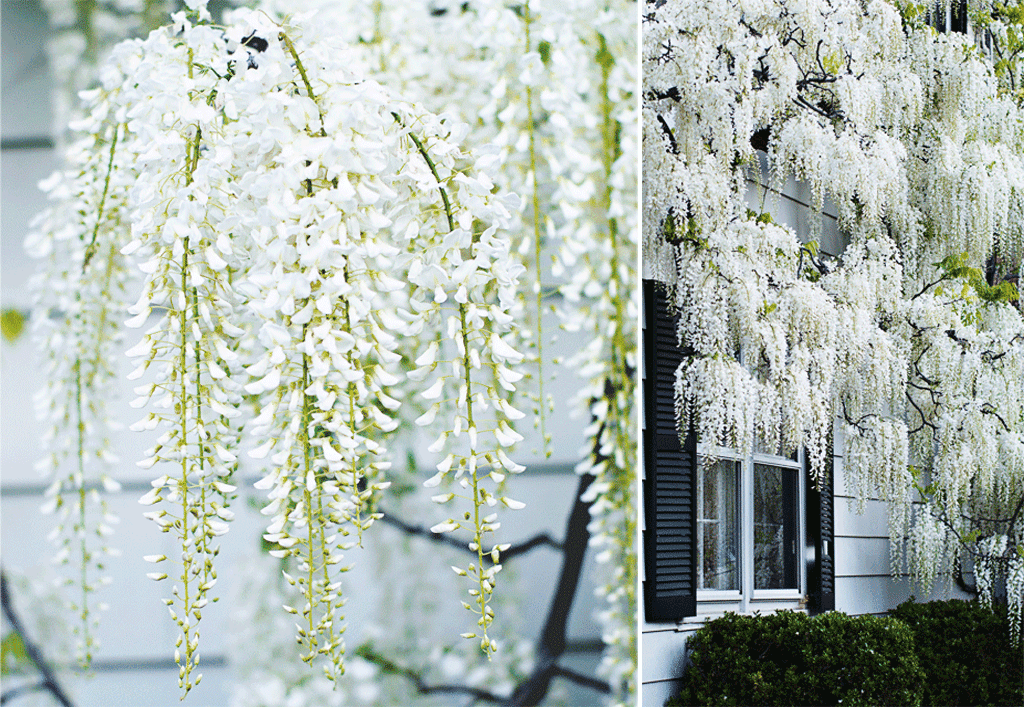 white wisteria blossoms