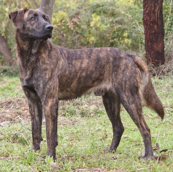 Le chien corse Cursinu