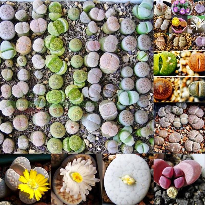 LITHOPS SEEDS (10-1000 Mixed) Rare Succulent Cactus Samen Semi Korn Conophytum