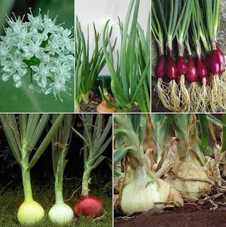 Allium-cepa