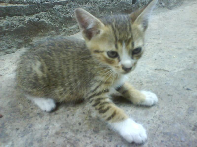 Makanan Kucing Kampung Kucing Gue