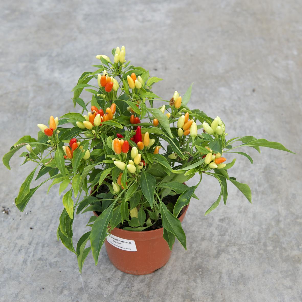Bartoli garden il peperoncino bont e poteri della for Pianta peperoncino