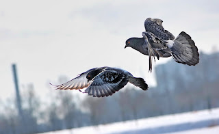Birds Doves Nature Flying Photo HD Wallpaper