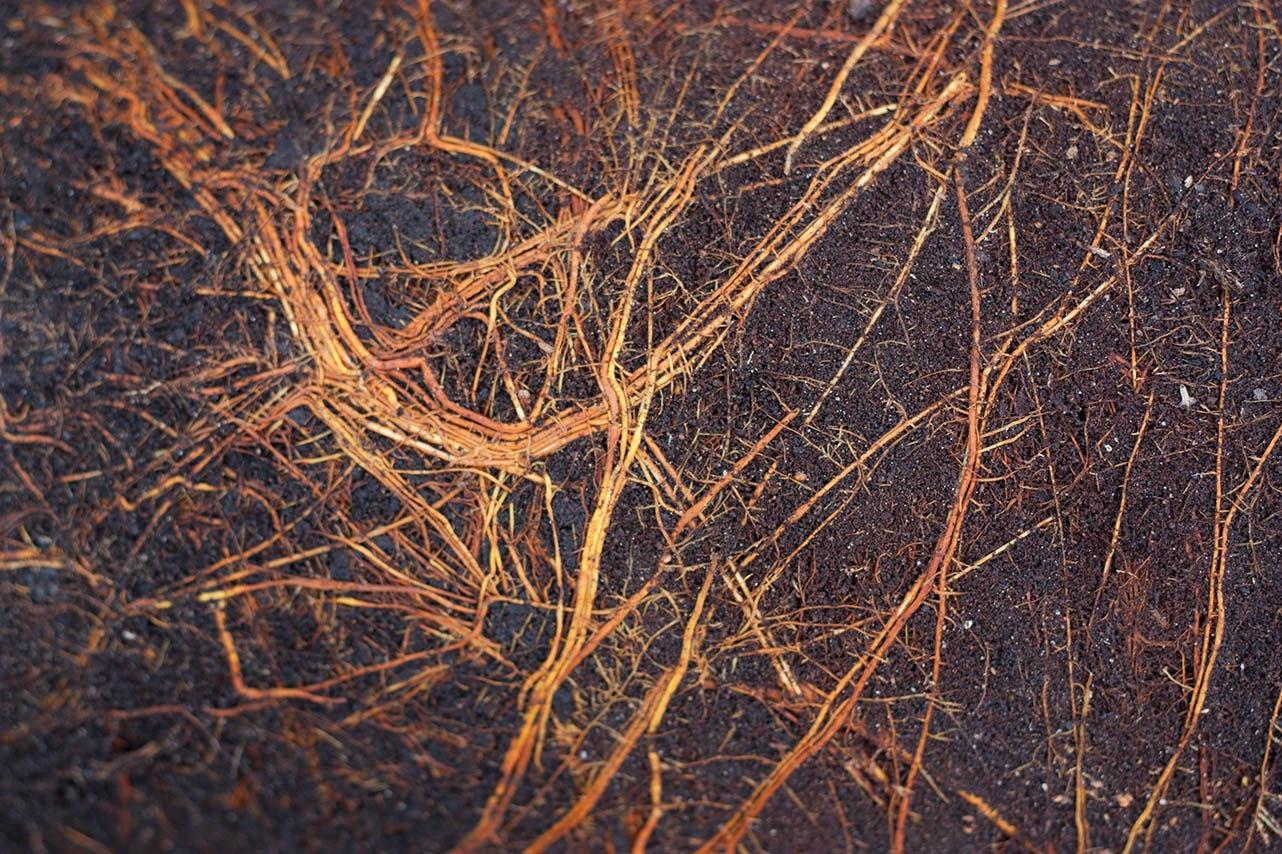 orange roots