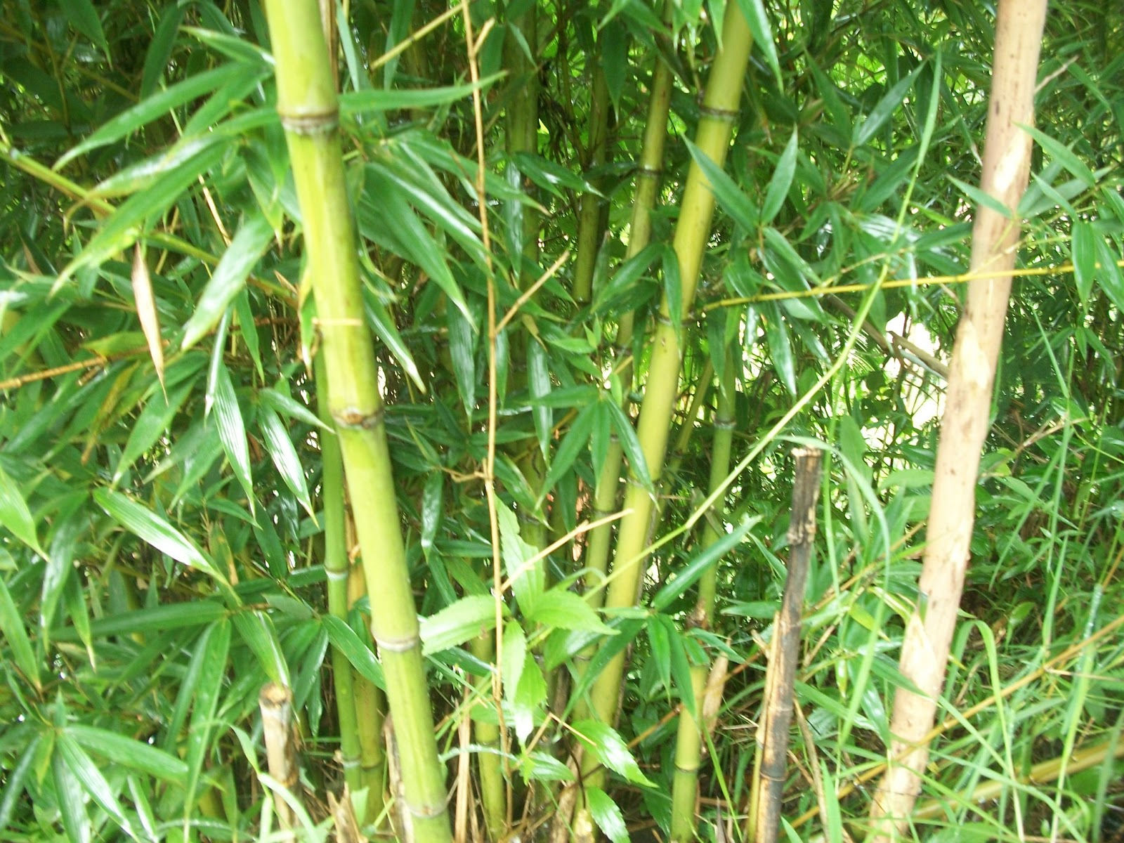 Image Result For Bambu Cendani