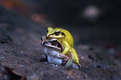 frog sex