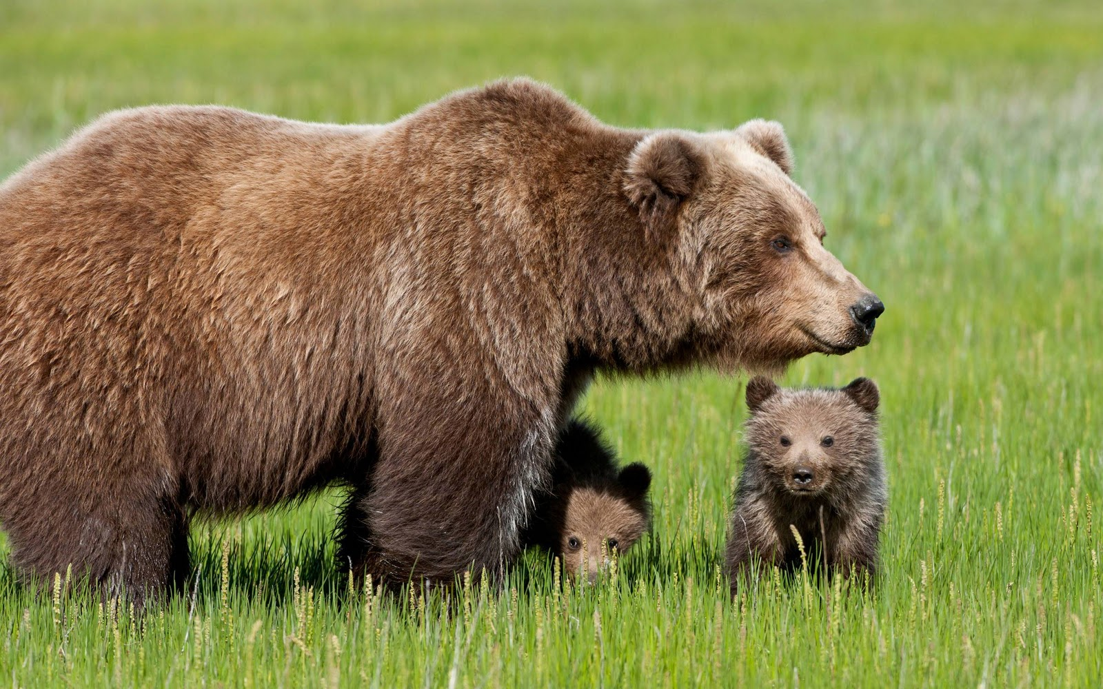 http://3.bp.blogspot.com/-Un5HxHydPz8/TwV0xfqJWHI/AAAAAAAAGcI/nqwGlpDT9To/s1600/bear_cubs_with_mother_wallpaper.jpg