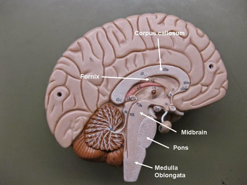 Labeled Brain Model | Anatomy Picture Reference and Health News