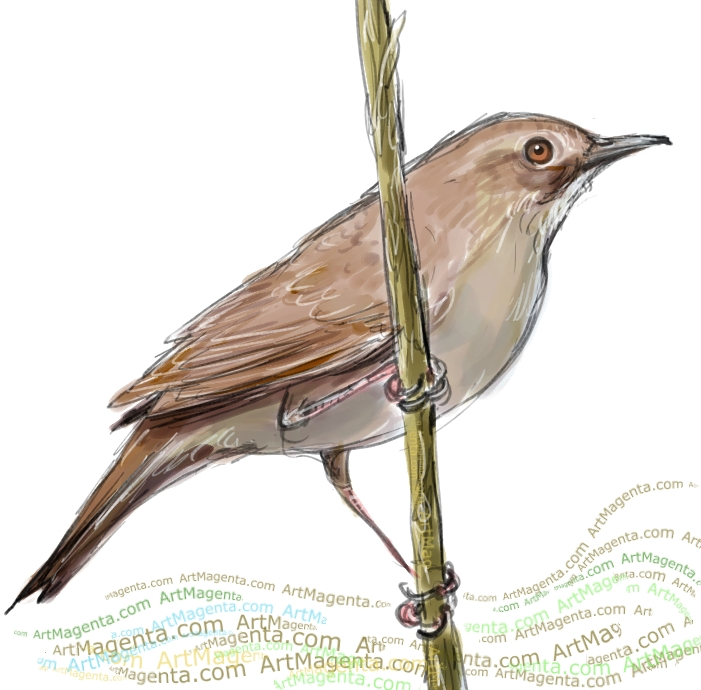 Savi's Warbler sketch painting. Bird art drawing by illustrator Artmagenta