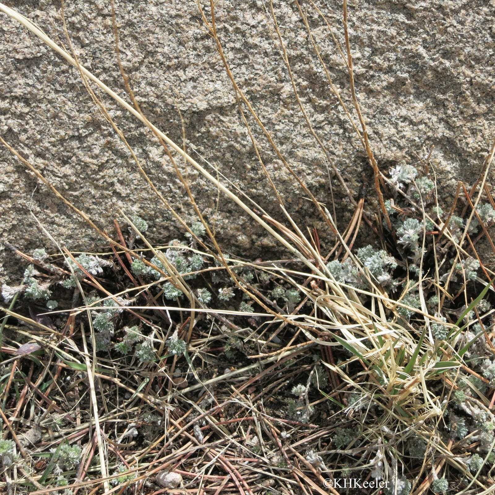 the little sage plants are turning green