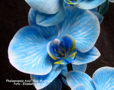 "Phalaenopsis Azul ""Blue Mystique"" do blogdabeteorquideas"